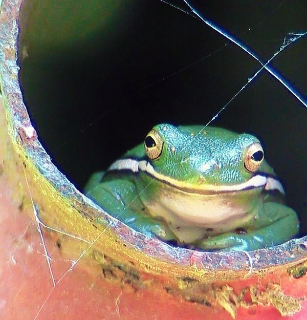 _greenfrog