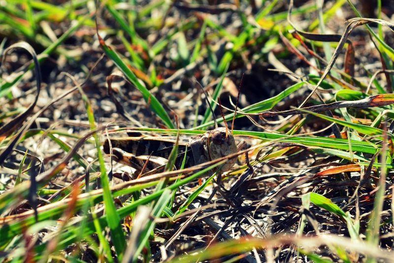 _grasshopper