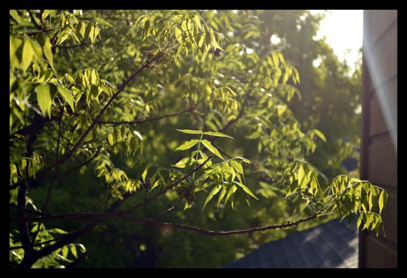 Morningleaves1